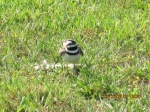Killdeer protecting eggs in the nest.